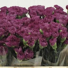 Carnation Extasis - 2018 Wedding Trend: Ultra Violet Purple. For lilac and purple wedding flowers to suit your colour scheme, visit our website at www.trianglenursery.co.uk/fresh-flowers!