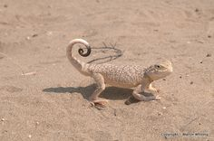 The Phrynocephalus Mystaceus Lizard or Turan Toad-headed Agama, is a species of agamid lizard found in Iran, North Afghanistan, Eastern Caucasus, Kazakhstan and possibly in south of Astrakhan Oblast. This species can reach up to 24 centimetres in length and is notable for its red oral display frill.