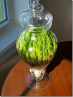 Yes, it's still cold outside, but bring in the spring with these wonderful wheat grass ideas. It grows within a week. #diy