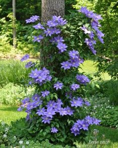 A wire frame around this tree trunk is virtually invisible, and creates a great trellis effect for purple clematis...
