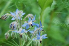 4 Lesser Known Drinking Herbs to Grow in Your Garden + How to Use Them.