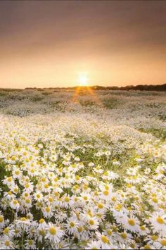 Beautiful field of daisies. Only if...