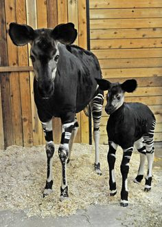 """Rate this post Rare """"Forest Giraffe"""" Born at Chicago's Brookfield Zoo The Chicago Zoological Society, which mangaes the Brookfield Zoo, is pleased to announce the birth of a rare hoofed mammal called an Okapi. They can be found in the Chicago zoo. Amazing Animals, Unusual Animals, Rare Animals, Animals Beautiful, Animals And Pets, Funny Animals, Exotic Animals, Wild Animals, Strange Animals"""