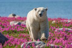 Polar bear in a field of wild flowers