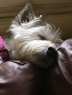 Westies, Westie Puppies, Funny Animals, Cute Animals, Cairn Terriers, Cutest Dog Ever, Bearded Collie, Fluffy Dogs, West Highland White