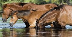 URGENT: SALT RIVER WILD HORSES TO BE ELIMINATED STARTING TODAY 7 AUG. 2015! WHICH MEANS THEY WILL END UP IN THE SLAUGHTERHOUSE!!!