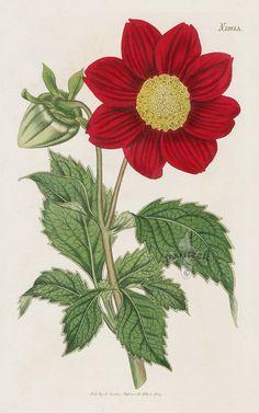 Fertile-Rayed Dahlia from 1815 Curtis Botanical Magazine Red, Orange Highly Decorative Prints