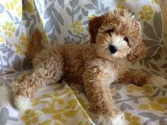maple - cutest #labradoodle puppy ever! So cute! Thanks for the pin @Kelly Teske Goldsworthy Dowling