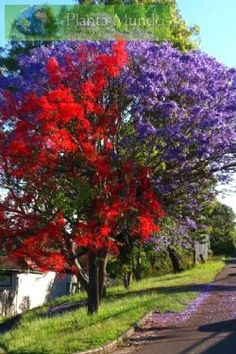 jacaranda and an illawarra flame tree Deciduous Trees, Trees And Shrubs, Flowering Trees, Unique Trees, Colorful Trees, Beautiful Landscapes, Beautiful Gardens, Cute Garden Ideas, African Tree