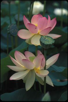 Common name and variations: Lotus  Photographer: Alan S. Heilman  Location: Perry's Water Gardens - Franklin, NC