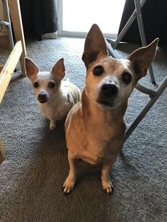 http://ift.tt/2tLcOBQ 12 year old pound puppy and her little brother a 4 year old back yard rescue! Both survived heartworm infections allowed to fester under previous owners! Rescued pups rock!