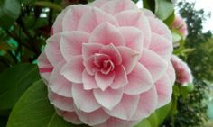 A Beautifull Camellia onsite at The Otter Nursery