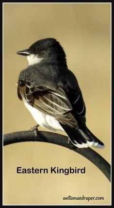 Eastern Kingbird, RM Montmartre, SK, June 2019. Source: Anita Mae Draper Wildlife, June, Birds, Blog, Photos, Animals, Image, Pictures, Animales