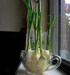 How to Grow Your Own Garlic Chives Place the budding clove or ... | A ...
