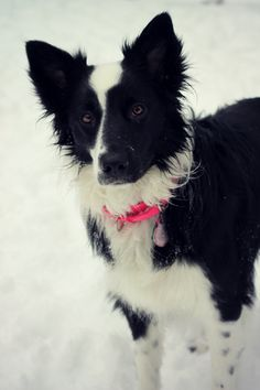 Border collie. Love the markings