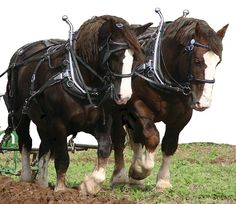 Draft horses - chevaux de trait - inspiration for scarf of same name