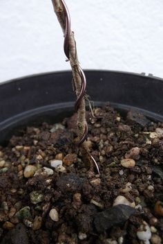 bonsai from seed