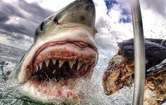 La Stampa - A tu per tu con lo squalo Lo scatto è spaventoso