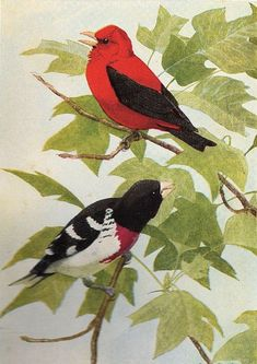 top one is a Scarlet Tanager and the lower one is a Rosebreasted Grosbeak