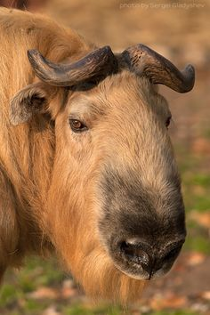Takin - Also called cattle chamois or gnu goat, is a goat-antelope found in the eastern Himalayas.