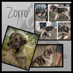 Pflege- oder Endstelle gesucht!!! (es entstehen keine Kosten für die Pflegestelle)!  Zorro ist ein ca. 8 Jahre alter kastrierter Rüde. Er hat eine Schulterhöhe von ca. 60 cm. Zorro ist ein richtig großer Teddybär. Er lebte an einer Kette ist in nun in Ungarn in Sicherheit dennoch braucht er dringend ein Zuhause. Zorro ist verträglich mit anderen Hunden und liebt Menschen. Er ist geimpft und gechipt und wird nur nach VK und mit Schutzvertrag vermittelt.  Unsere Anzeigen sind tagesaktuell…