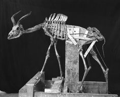 KUDU SKELETON: Armature for young male greater kudu, mounted for kudu group, February 1931.[ Less ]  [ Link to this slide ]  Courtesy of the American Museum of Natural History -- Museum Menagerie: Historical Photos of the Construction of Early Wildlife Exhibits [Slide Show] - Scientific American