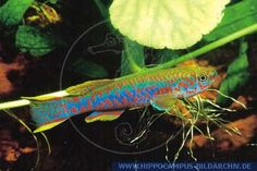 A03853 Aphyosemion gardneri nigerianum(F.)