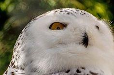 Schnee Eule, Vogel