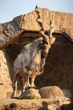 Majestic Animals, Rare Animals, Cute Baby Animals, Animals And Pets, Funny Animals, Beautiful Creatures, Animals Beautiful, Animals With Horns, Wild Animals Photography