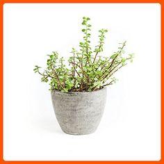Repose Bua Planter, Medium - Lets plant (*Amazon Partner-Link)
