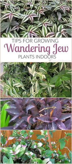 Wandering Jew Plant Care Guide - Get Busy Gardening Wandering jew plants can be difficult to grow indoors. Once you get the hang of indoor wandering jew plant care, you can keep them growing year after year. Hanging Plants, Indoor Plants, Garden Plants, Hanging Gardens, Air Plants, Cactus Plants, Organic Gardening, Gardening Tips, Indoor Gardening