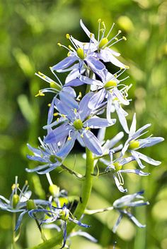 WILD HYACINTH: (Camassia scilloides). Greg Funka took this photograph in the area of Lawrence County, PA on May 25, 2013. (Endangered in Pennsylvania)