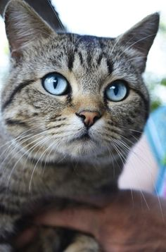 """Meet """"Hunter."""" He is a grey Tabby but just look at those beautiful eyes. Meow!"""
