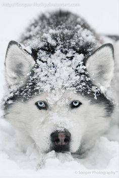 Wonderful All About The Siberian Husky Ideas. Prodigious All About The Siberian Husky Ideas. Cute Puppies, Cute Dogs, Dogs And Puppies, Baby Dogs, Doggies, Sibirsk Husky, Alaskan Husky, Beautiful Dogs, Animals Beautiful