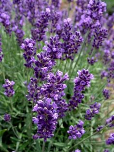 Overwintering potted lavender Lavender overwinters best in the ground, not in above-ground pots. Potted Plants Outdoor, Plants, House Plants, Lavender Potted Plant, Flower Pots Outdoor, Overwintering, Container Gardening, Potted Lavender, Lavender Plant