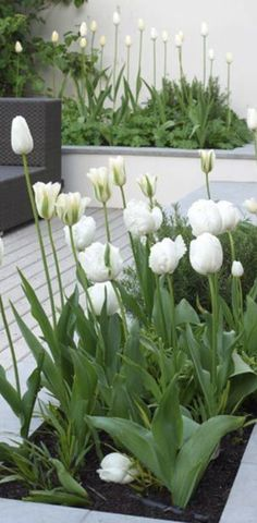 white tulips green and white landscapingg