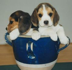 Learn More About Teacup Beagles aka Pocket Beagles