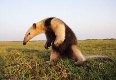 Anteater in the Pantanal wetlands in Brazil Unusual Animals, Majestic Animals, Rare Animals, Happy Animals, Animals Beautiful, Funny Animals, Odd Animals, Armadillo, Big Iguana