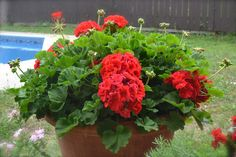 over wintering geraniums