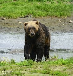 Alaskan Bear ~ღ~