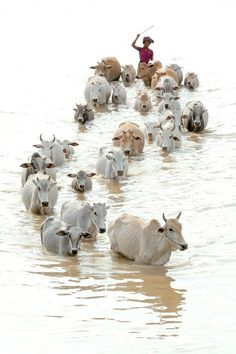 INDIA: A herdsman and his cattle crossing a river….INDIA