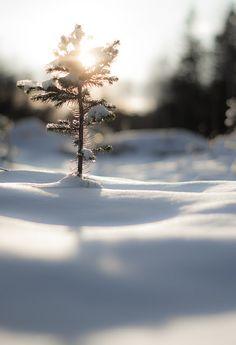 small fir tree #sun tree winter snow landscape nature beautiful