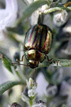 Rosemary Beetle Control: How To Kill Rosemary Beetles -  Depending upon where you are reading this, you may already be familiar with rosemary beetle pests. If you live for fresh herbs in your cooking, you'll want to know about managing rosemary beetles. This article will help.