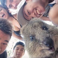 Everyone in Australia is taking selfies with a marsupial called a quokka and you would too if you could. Happy Animals, Animals And Pets, Funny Animals, Cute Animals, Selfies, Perfect Selfie, Cute Creatures, Cool Pets, Animals Of The World