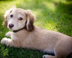 Long haired dachshund!