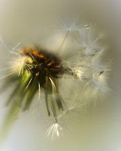 taken of a dandelion in my back yard