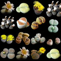Bonsai flowers indoor fleshier plant health and stone flowers seeds - 100 pcs seeds