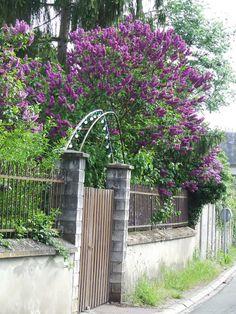 lilac time in Normandy - Sharon Santoni