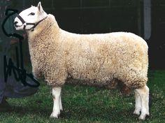 Hardy Sheep Breeds | Heritage Sheep Australia - Cheviot