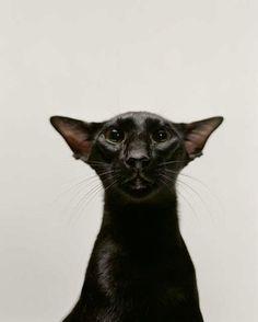 Black Cat - Oriental Shorthair Unusual point of view distorts face! Pretty Cats, Beautiful Cats, Animals Beautiful, Cute Animals, Cornish Rex, Siamese Cats, Cats And Kittens, Black Siamese Cat, Cats Bus